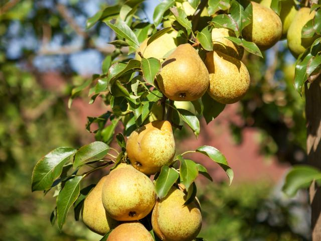 Juicy green pears hanging on the tree.
