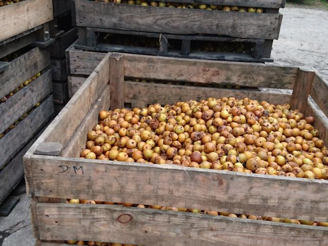 Recolte Pomme Ferme Bois Derouault (1)